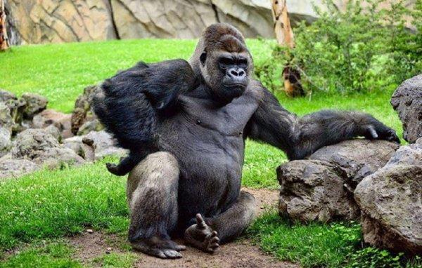 Умерла знаменитая говорящая горилла