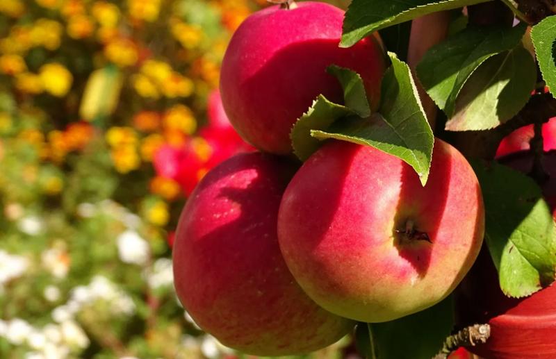 Не забудьте сделать это - три ритуала на яблочный Спас