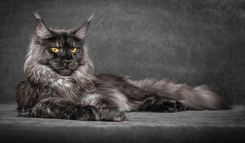 Кошки  как домашние любимцы спасают нас от бед